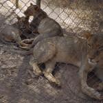 lions du parc animalier de Ziniaré